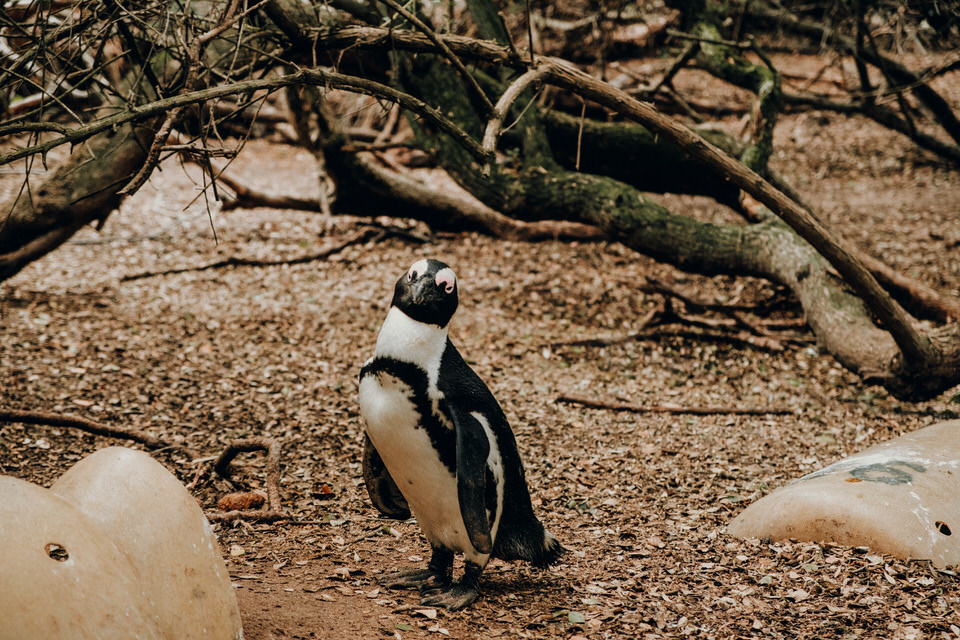 Boulders Beach Pinguin